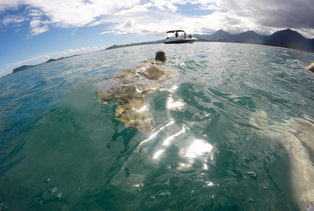 Turtles at Sandbar Kaneohe